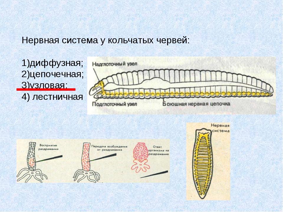 Нервная система у кольчатых червей: 1)диффузная; 2)цепочечная; 3)узловая; 4)...