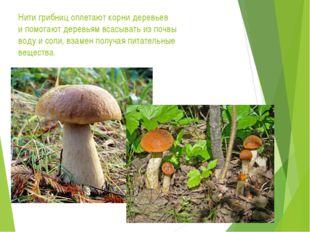 Нити грибниц оплетают корни деревьев и помогают деревьям всасывать из почвы в