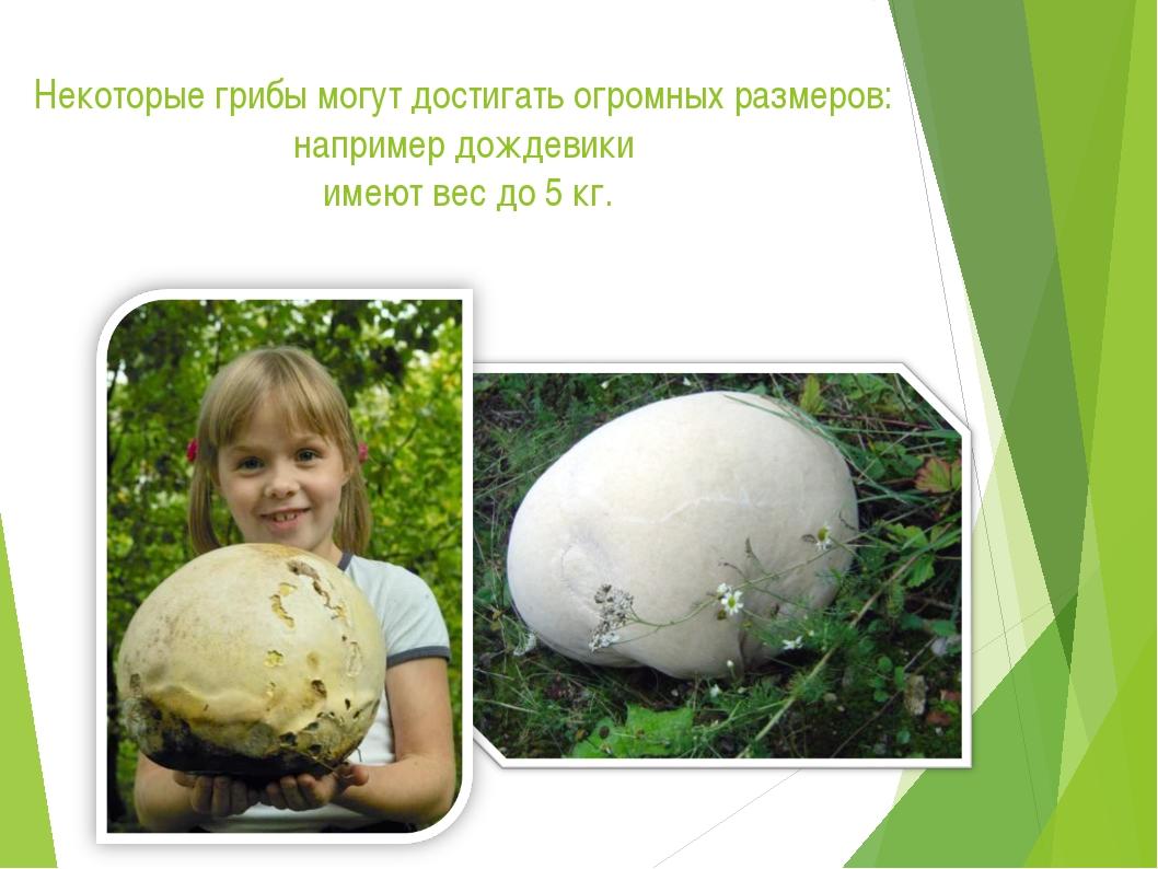 Некоторые грибы могут достигать огромных размеров: например дождевики имеют в...