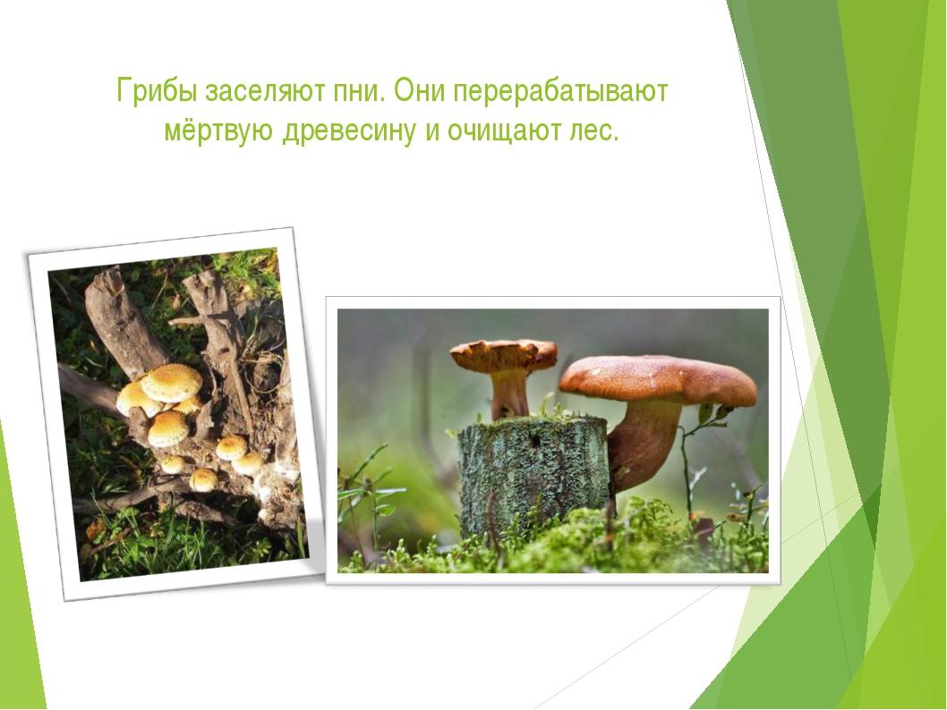 Грибы заселяют пни. Они перерабатывают мёртвую древесину и очищают лес.