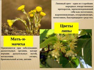 Мать-и-мачеха Цветы липы Применяется при заболеваниях дыхательных органов, ка