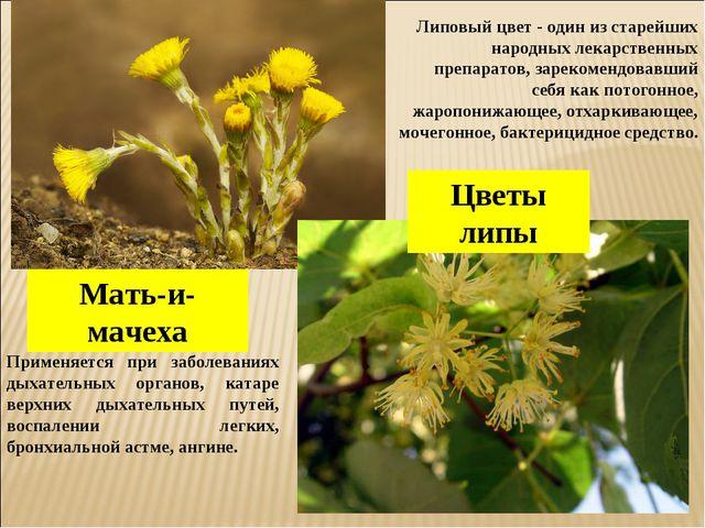 Мать-и-мачеха Цветы липы Применяется при заболеваниях дыхательных органов, ка...