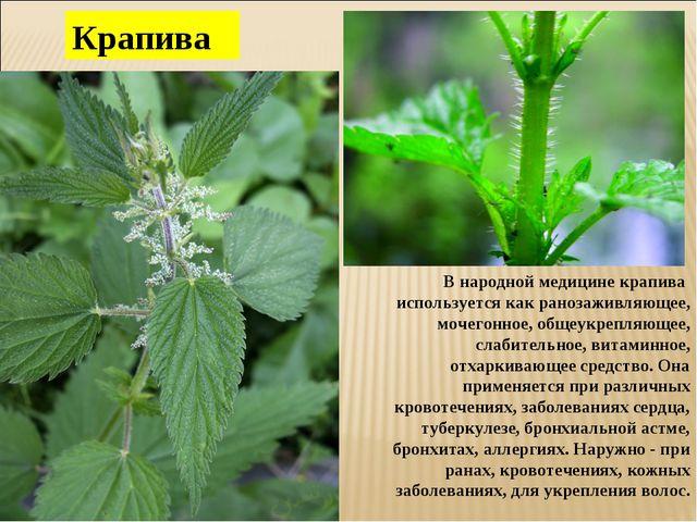 Крапива В народной медицине крапива используется как ранозаживляющее, мочегон...
