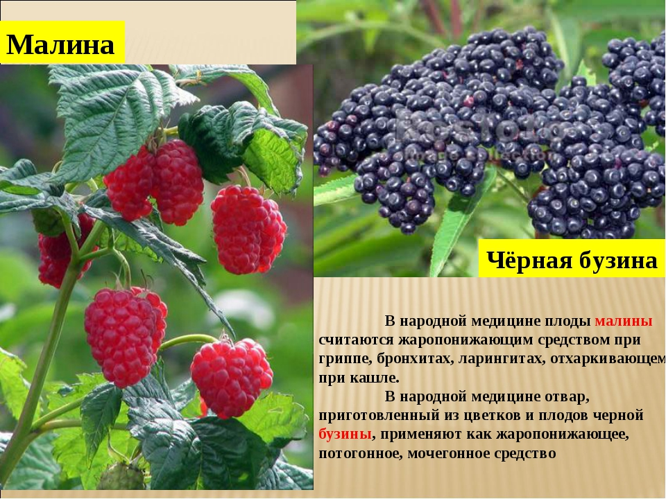 Чёрная бузина Малина В народной медицине плоды малины считаются жаропонижающ...