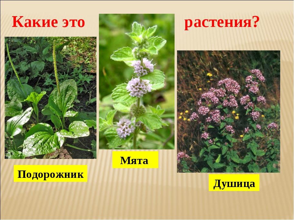 Подорожник Мята Душица Какие это растения?