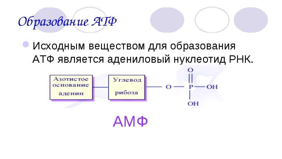 Образование АТФ Исходным веществом для образования АТФ является адениловый ну...