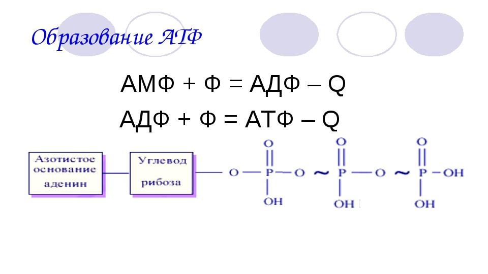 Образование АТФ АМФ + Ф = АДФ – Q АДФ + Ф = АТФ – Q
