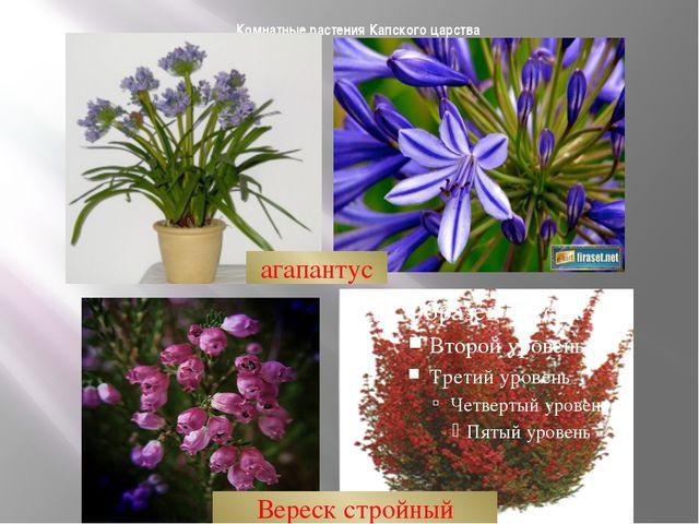 Комнатные растения Капского царства агапантус Вереск стройный