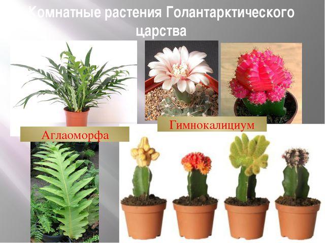Комнатные растения Голантарктического царства Гимнокалициум Аглаоморфа