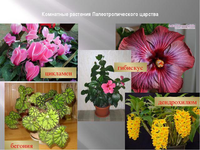 Комнатные растения Палеотропического царства цикламен гибискус бегония дендро...