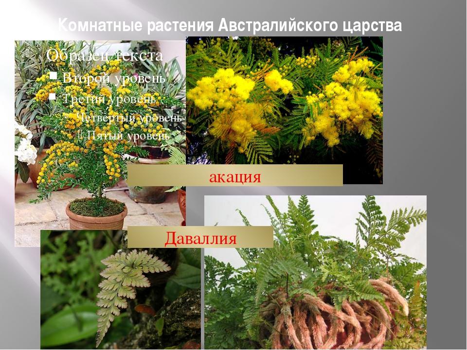 Комнатные растения Австралийского царства акация Даваллия