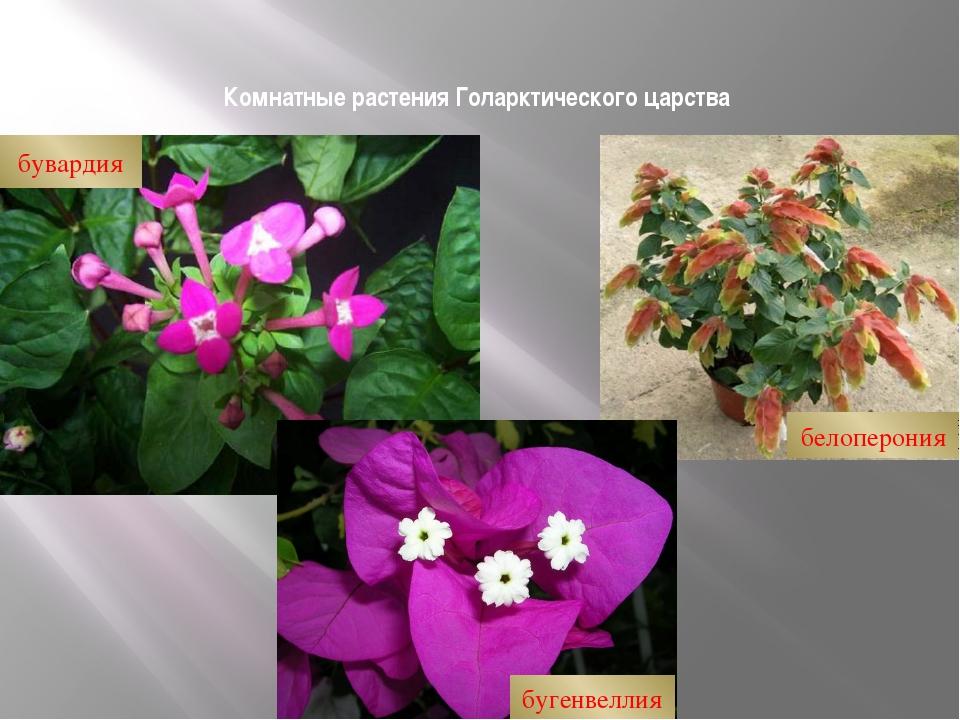 Комнатные растения Голарктического царства бувардия бугенвеллия белоперония