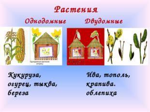 Растения Однодомные Двудомные Кукуруза, огурец, тыква, береза Ива, тополь, кр