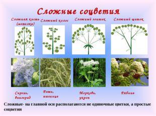 Сложные соцветия Сирень, виноград Сложная кисть (метелка) Сложный щиток Морко
