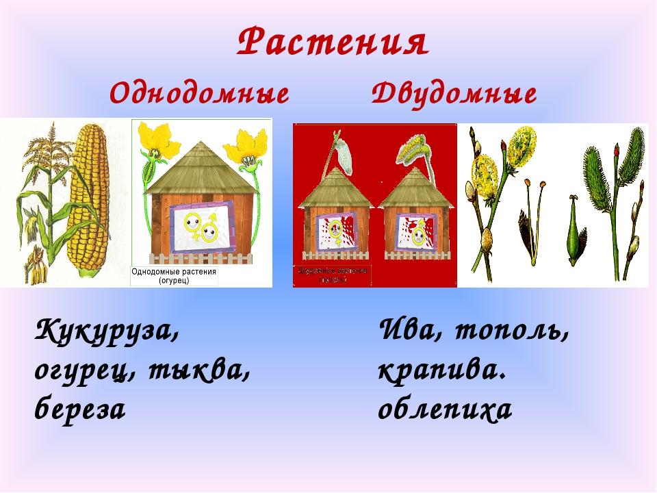 Растения Однодомные Двудомные Кукуруза, огурец, тыква, береза Ива, тополь, кр...