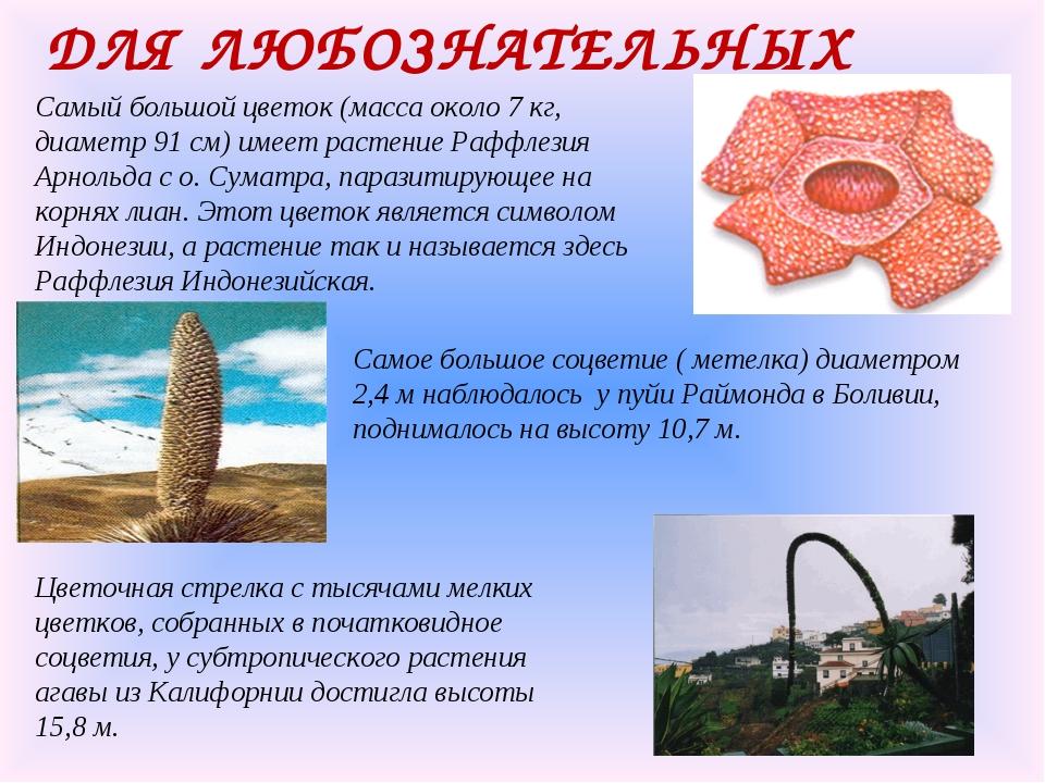 ДЛЯ ЛЮБОЗНАТЕЛЬНЫХ Самый большой цветок (масса около 7 кг, диаметр 91 см) име...