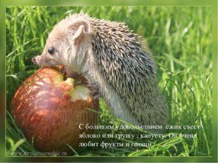 С большим удовольствием ёжик съест яблоко или грушу , капусту. Он очень любит
