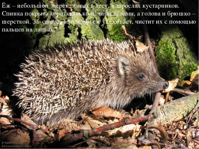 Ёж – небольшой зверек, живет в лесу, в зарослях кустарников. Спинка покрыта к...