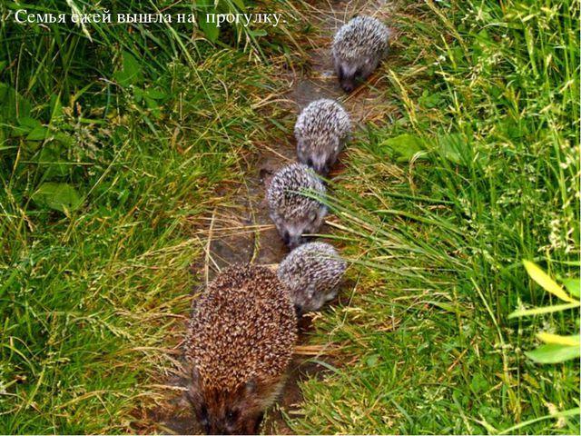 Семья ежей вышла на прогулку.