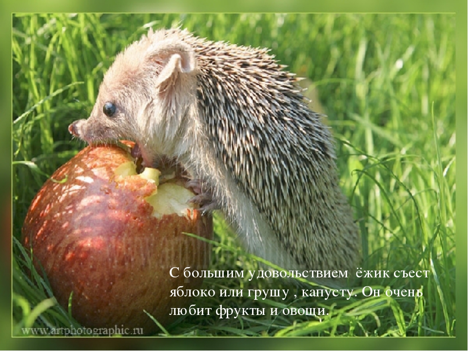 С большим удовольствием ёжик съест яблоко или грушу , капусту. Он очень любит...