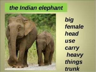 the Indian elephant big female head use carry heavy things trunk