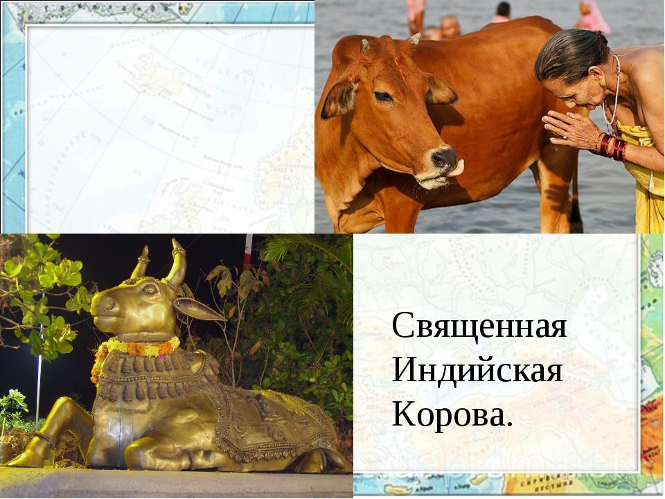 Священная Индийская Корова.
