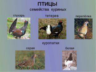 ПТИЦЫ  семейства  куриных