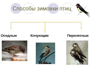 Способы зимовки птиц Оседлые Кочующие Перелетные
