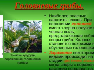 Головневые грибы. Наиболее опасные паразиты злаков. При поражении головней вм