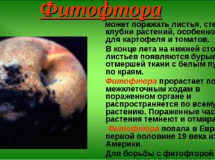 Фитофтора может поражать листья, стебли и клубни растений, особенно опасна дл