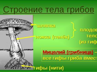Строение тела грибов ножка (пенёк) шляпка гифы (нити) плодовое тело (из гифов