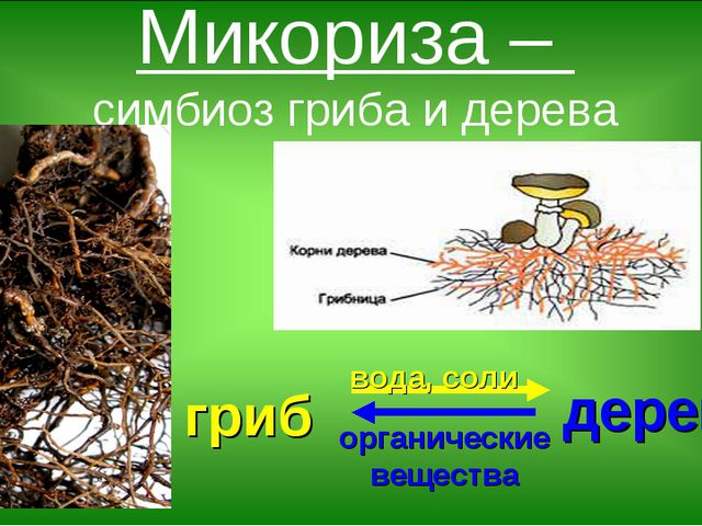 Микориза – симбиоз гриба и дерева гриб дерево вода, соли органические вещества