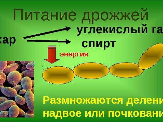 Питание дрожжей сахар углекислый газ спирт энергия Размножаются делением надв...