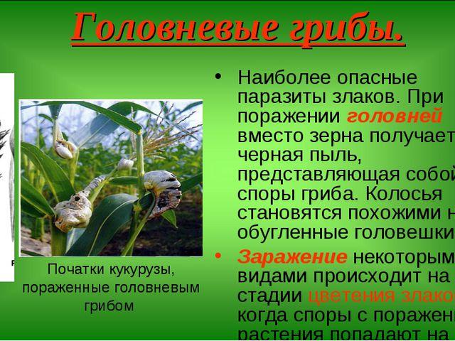 Головневые грибы. Наиболее опасные паразиты злаков. При поражении головней вм...