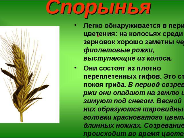 Спорынья . Легко обнаруживается в период цветения: на колосьях среди зерновок...