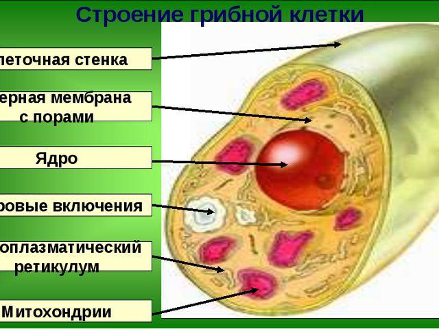 Клеточная стенка Ядро Ядерная мембрана с порами Эндоплазматический ретикулум...