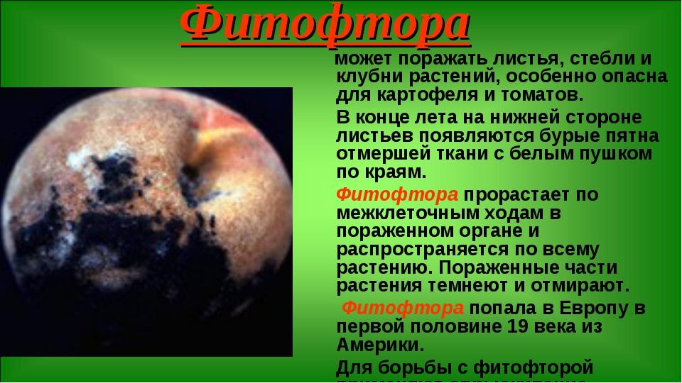Фитофтора может поражать листья, стебли и клубни растений, особенно опасна дл...