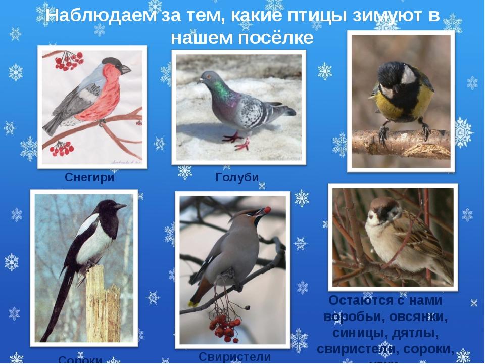 Свиристели Наблюдаем за тем, какие птицы зимуют в нашем посёлке Остаются с на...