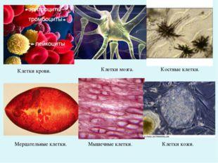 Клетки крови. Клетки мозга. Костные клетки. Мерцательные клетки. Мышечные кле