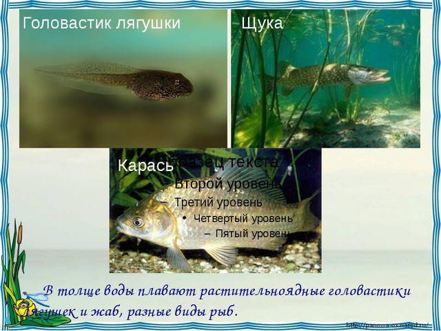 В толще воды плавают растительноядные головастики лягушек и жаб, разные вид...