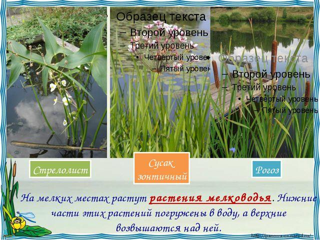 На мелких местах растут растения мелководья. Нижние части этих растений погр...