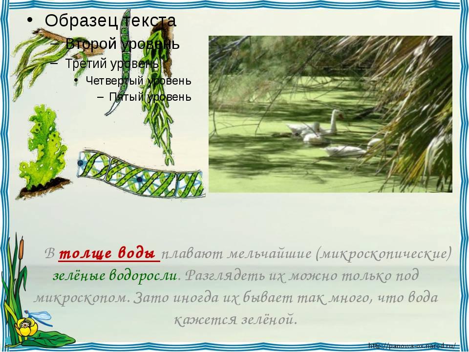 В толще воды плавают мельчайшие (микроскопические) зелёные водоросли. Разгл...