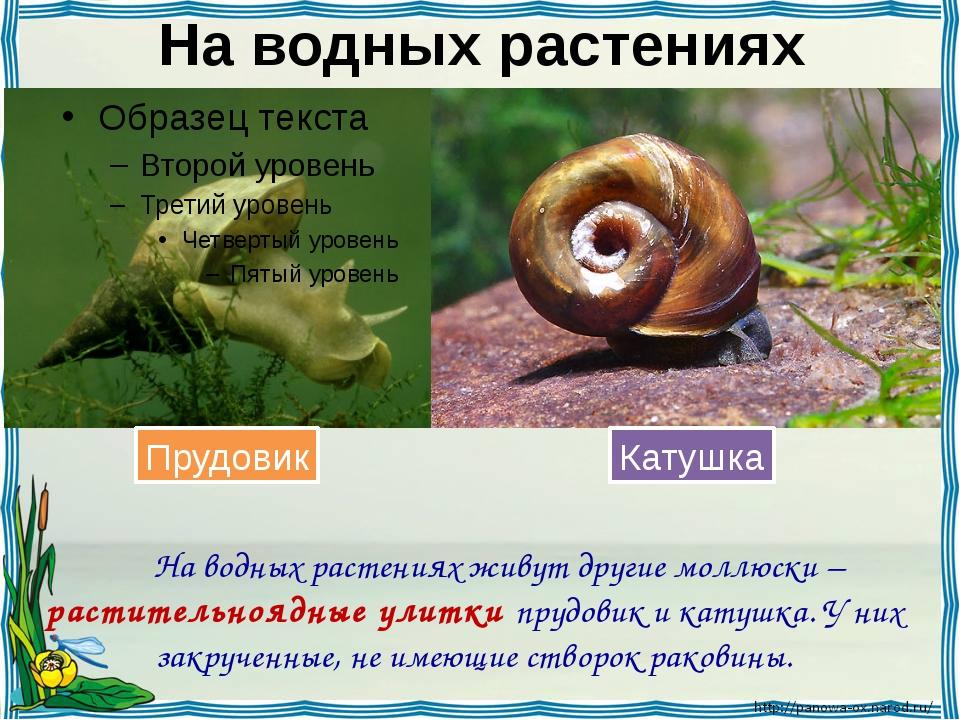 На водных растениях На водных растениях живут другие моллюски – растительноя...