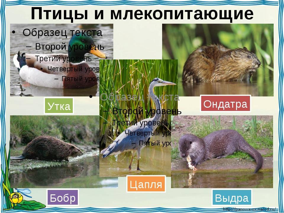 Птицы и млекопитающие Утка Ондатра Бобр Цапля Выдра