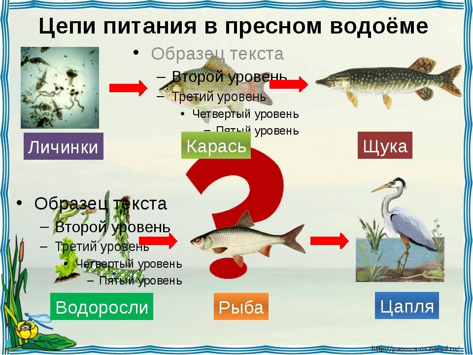 Цепи питания в пресном водоёме Личинки Карась Щука Водоросли Рыба Цапля