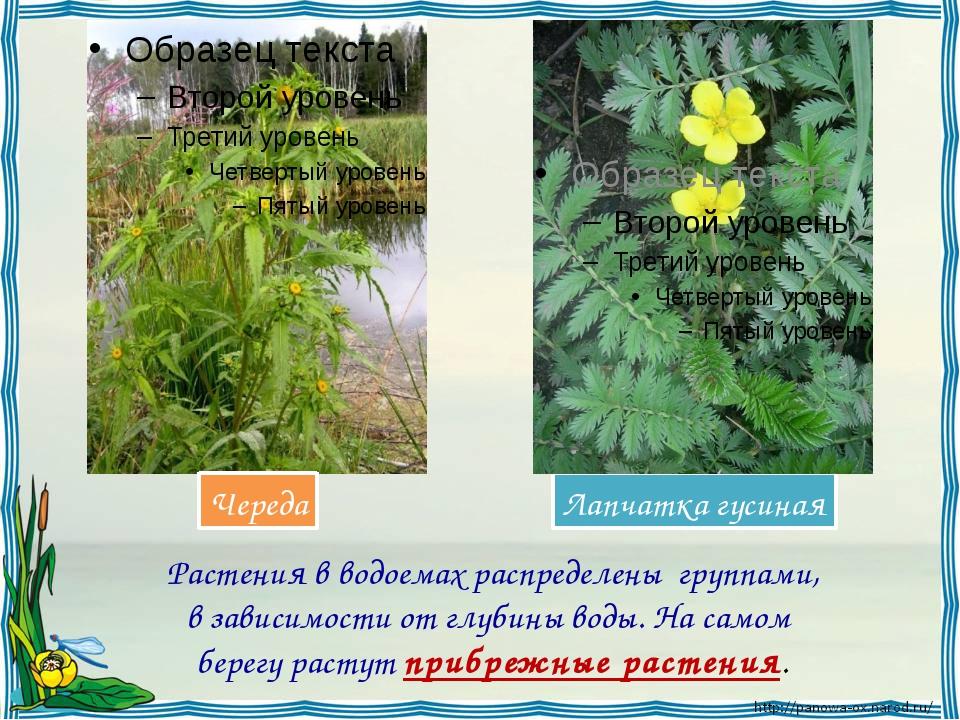 Растения в водоемах распределены группами, в зависимости от глубины воды. На...