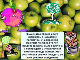 Знаменитая яблоня долго хранилась в назидание потомству. Она пережила Ньютона