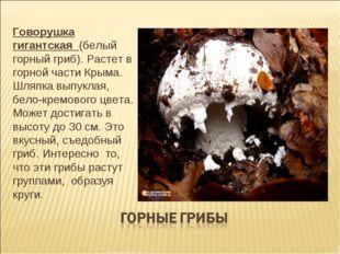 Говорушка гигантская (белый горный гриб). Растет в горной части Крыма. Шляпка
