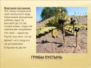 Монтанея песчанная. Это очень интересный гриб необычного вида. Коричневая мор