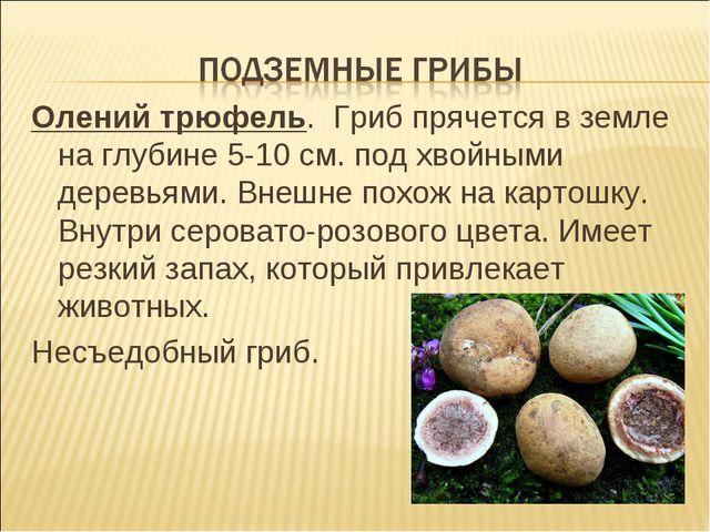 Олений трюфель. Гриб прячется в земле на глубине 5-10 см. под хвойными деревь...